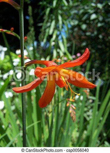 Perennial Gladiolus - csp0056040