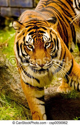 Tiger - csp0056962