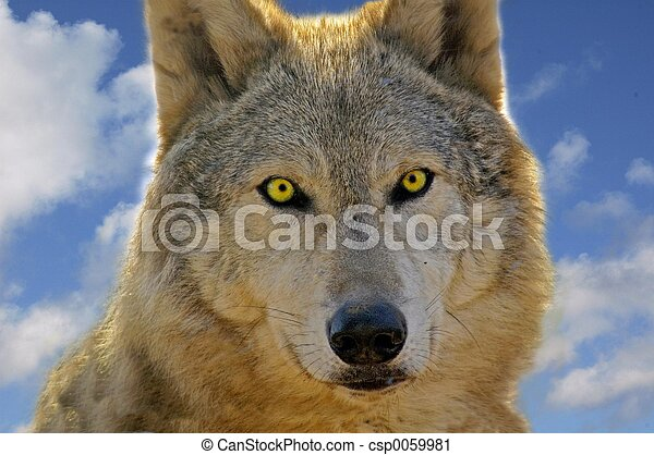 Close up of a wolf showing the clarity stare of the eyes
