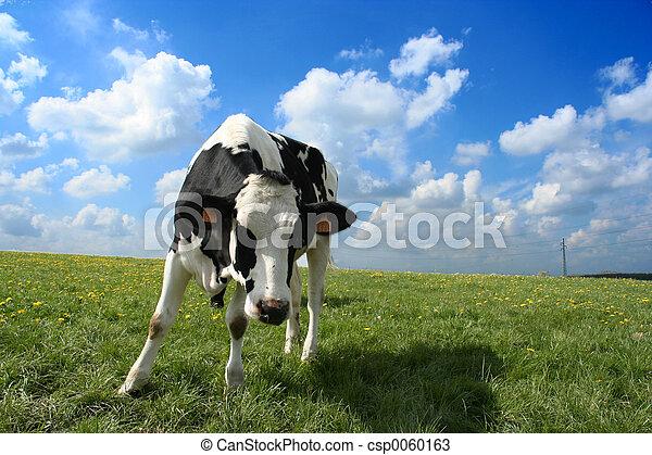 Curious cow - csp0060163