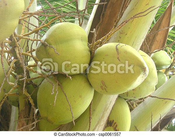 Coconuts - csp0061557