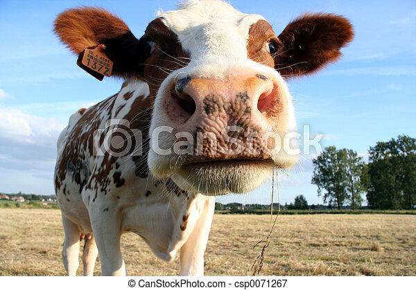 母牛 - csp0071267