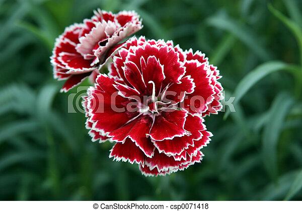 Red & White Carnation - csp0071418