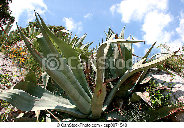 Agave Plant - csp0071540