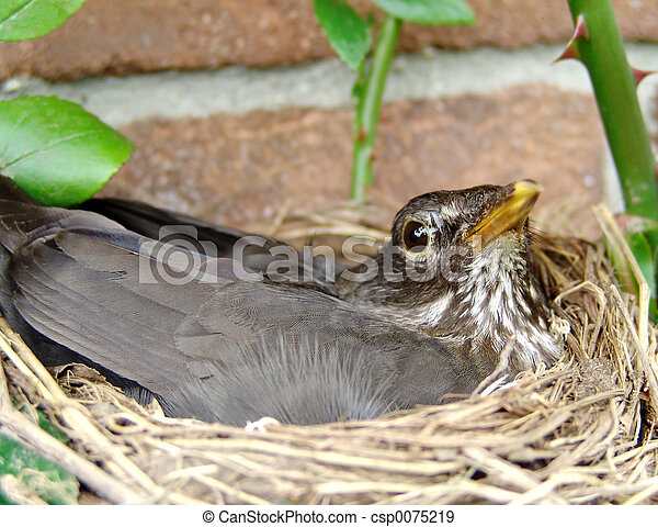blackbird breeding - csp0075219