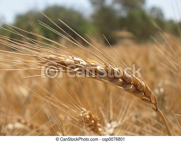 Wheat - csp0076801