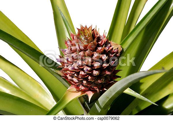 stock foto von wachsen ananas a foto von a ananas pflanze mit a csp0079062. Black Bedroom Furniture Sets. Home Design Ideas