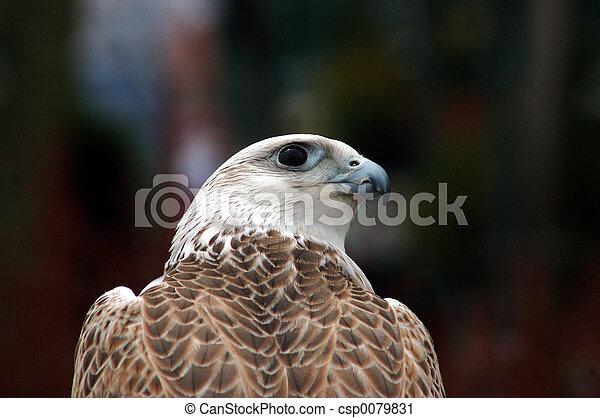 bird of prey - csp0079831