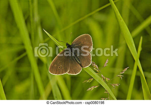 Ringlet Butterfly - csp0080198