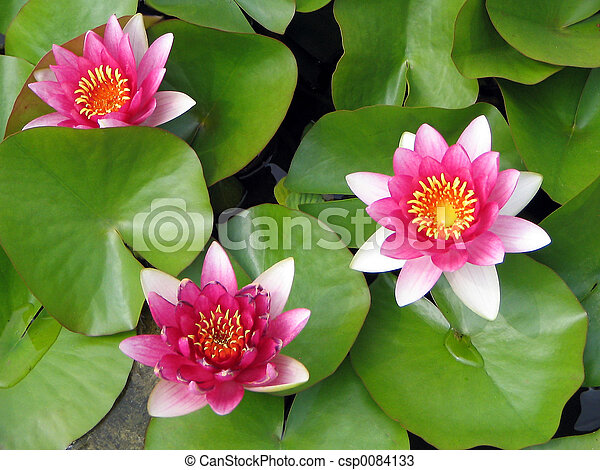 Trio of lotus flowers - csp0084133