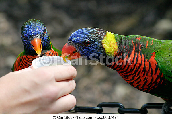 Lorikeet Lunch - csp0087474