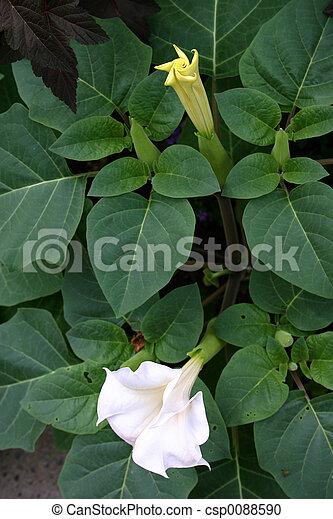 jimson weed flowers - csp0088590