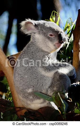 Koala at Australia Zoo - csp0089246