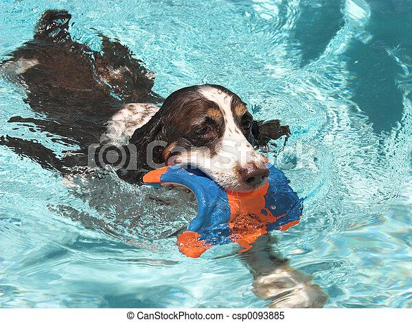 Swimming Spaniel - csp0093885