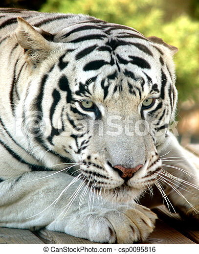 White tiger close up face - photo#19