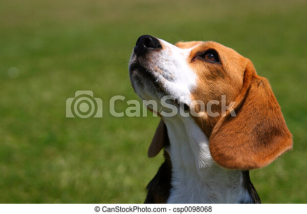 Obedient Beagle - csp0098068