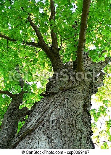 樹, 楓樹 - csp0099497