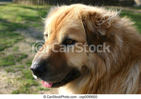 Portrait profile shot of long haired retriever breed of dog
