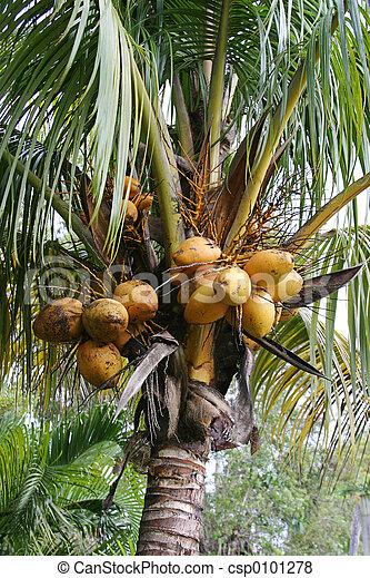 Coconuts Growing - csp0101278