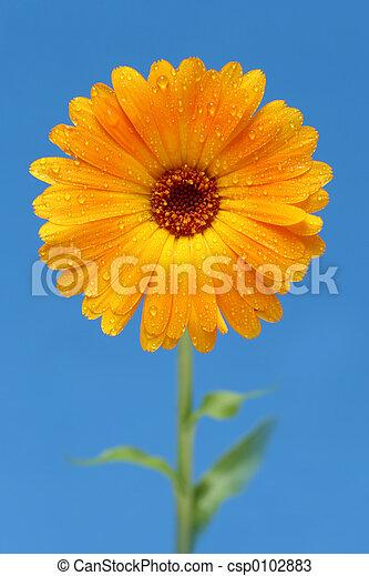 yellow gerber daisy - csp0102883
