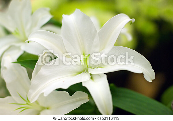 White Lilly - csp0116413