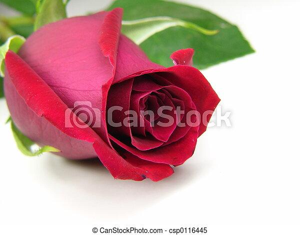 red rose - csp0116445