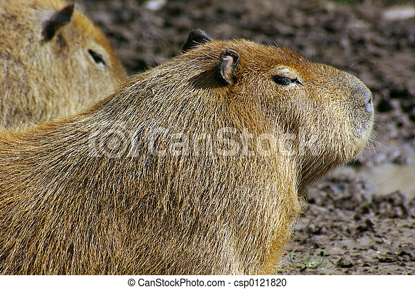 02,  (hydrochoerus,  hydrochaeris),  Capybara - csp0121820
