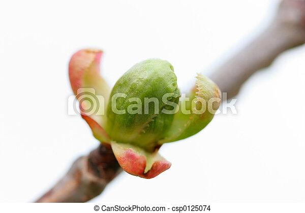 Cherry Tree Bud - csp0125074