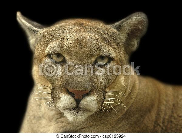Cougar Stare - csp0125924