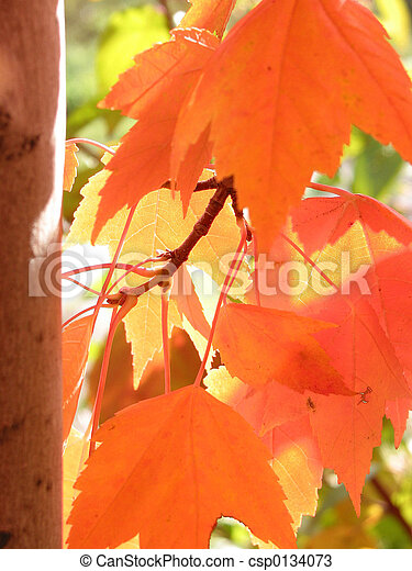 Orange fall leaves basking in sunlight - csp0134073
