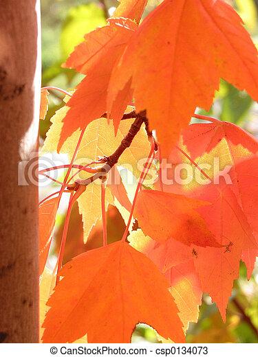 Orange fall leaves basking in sunlight - csp0134073