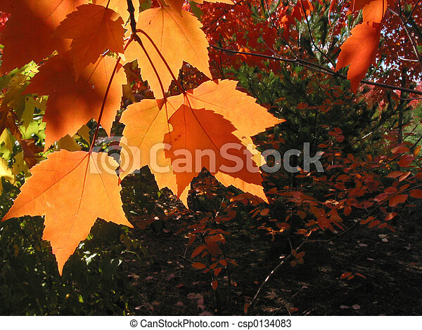 Transparent orange fall leaves - csp0134083