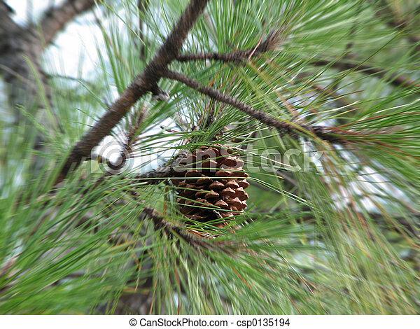 Pinus Radiata - csp0135194
