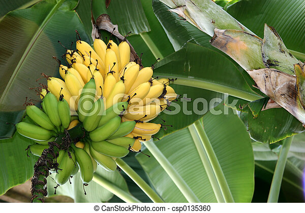 stock photography of banana tree ripe unripened bananas on a banana tree csp0135360 search. Black Bedroom Furniture Sets. Home Design Ideas