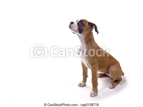 Boxer pup waiting for treat - csp0138718
