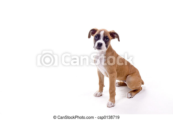 Perfect Boxer Puppy - csp0138719