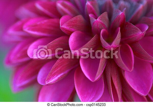 dahlia culture: a purple one