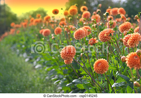 Stock Images of flowers dahlia culture, manipulated orange sky