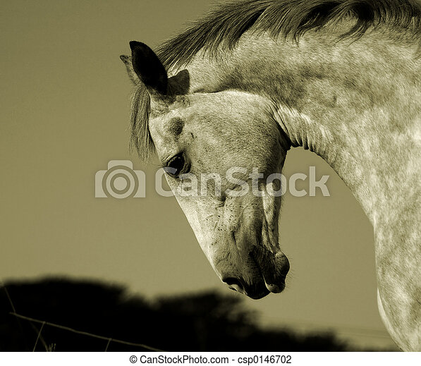 Irish Horse - csp0146702
