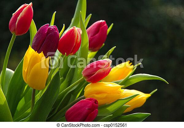Wild Tulips - csp0152561