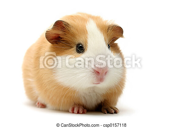 ギニー, 上に, 白, 豚 - csp0157118