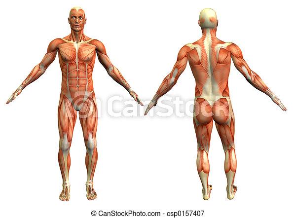 anatomy man 4 - csp0157407