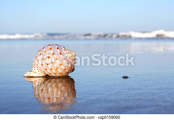 Beach Seashell - csp0159060