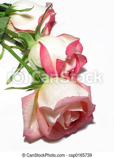 Three White Roses - csp0165739