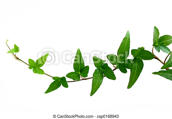 Ivy on white background 2