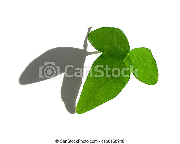 Isolated green ivy leaf on white - csp0168948