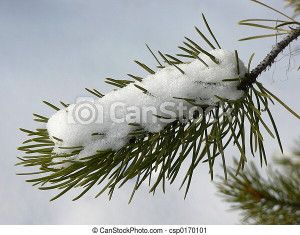 Snow on Evergreen - csp0170101