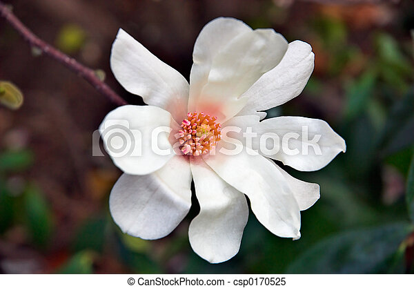 Star Magnolia - csp0170525