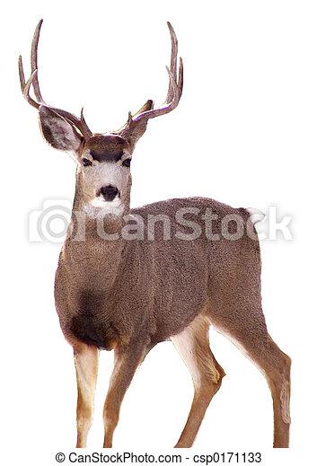 Buck - white backgnd - csp0171133