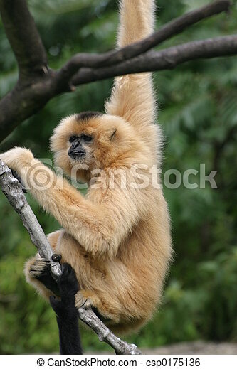 Gibbon - csp0175136